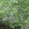 Sycamore in Ashdell Road