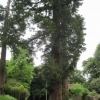 Giant Sequoia Wellingtonian trees in Ashdell Road