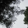 Looking up through the Sequoias at their feathery foliage