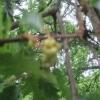 Close-up of a new oak apple - a bit blurred