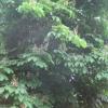Horsechestnut tree at Kings Pond
