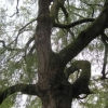 The giant Weeping Willow beside the River Wey in the library car park