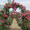 The arched rose-arboured walk