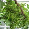 The grapes in the greenhouse