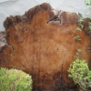 A slice of the magnificent chestnut tree that was blown over in a storm of recent years