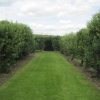 The fan-trained fruit trees