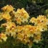 Yellow Azalea - photo by David Robinson