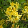 Yellow Azalea close-up - photo by David Robinson