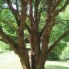 Paper bark trunks