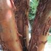 Paper bark trunk