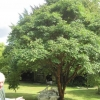 Anna's Acer Griseum
