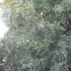 different oak tree lady pl car pk
