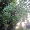 giant oak leaves