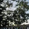 giant oak leaves lady pl car pk