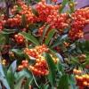 Pyracanthus berries