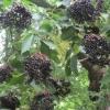Elderberries BG small