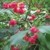 Spindle tree berries