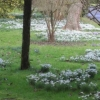 Snowdrops alongside the drive