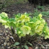 Yellow Hellebores