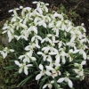 Lovely clump of snowdrops