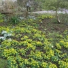 A carpet of aconites