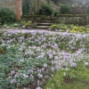 Another carpet of crocuses