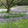 And even more crocuses
