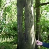 Interesting Beech Tree