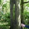 Interesting Beech Tree