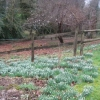 Snowdrops in the front garden