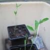 Anna's sweet pea seedings in her greenhouse