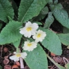 A beautiful primrose