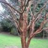 Anna's peeling bark tree