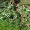 Sunny primroses next day