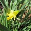 A rather rabbit-bitten daffodil