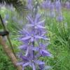 Tall blue Camasia flower