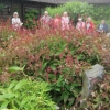 Persicaria offinis in the Oriental Carpet Garden