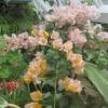 Bougainvillea in the greenhouse