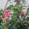 Hibiscus in the greenhouse