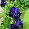 Beautiful Iris blooms
