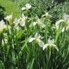 White water iris