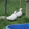 Sweet white ducks