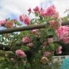 Pink rambling rose