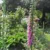 More Foxgloves