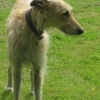 Lovely lurcher