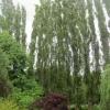 An amazing row of poplar trees