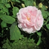 An old-fashioned rose