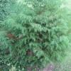 More fir