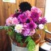 Kathy's magnificent dahlias