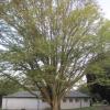 fanned tree